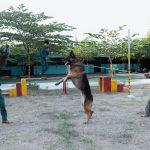 Những giống chó nghiệp vụ được chọn mua nhiều nhất tại Việt Nam